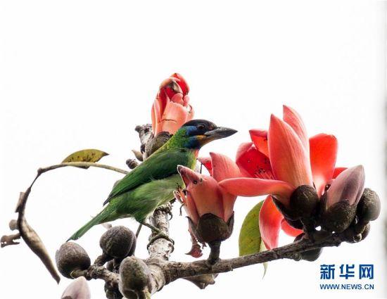 图为2017年1月22日拍摄的黑眉拟啄木鸟。新华社发(米红旭 摄)