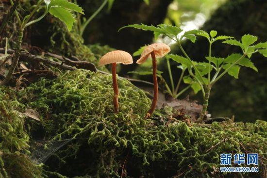 图为2016年9月27日拍摄的蜡蘑。新华社发(米红旭 摄)