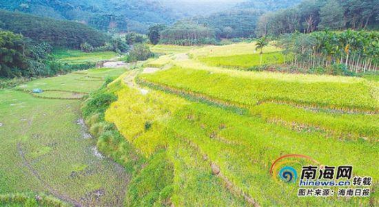 青松乡的山栏稻田。