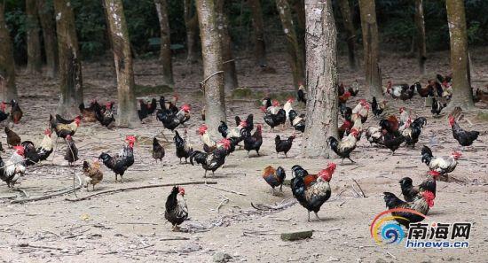 白沙富涵家禽专业合作社下属的白沙山鸡放养基地。南海网记者 姚皓 摄