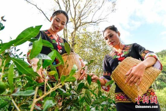 """1月8日,位于海南岛中部的五指山地区正迎来""""早春茶""""开采时节。在五指山山脚下水满乡各茶园的茶农正忙碌着采摘2019年的首批""""早春茶""""。图为身着黎族服饰的黎族姑娘采茶。中新社记者 骆云飞 摄"""