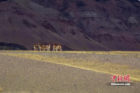 羌塘国家级自然保护区改则县片区的藏野驴 贡觉群培摄