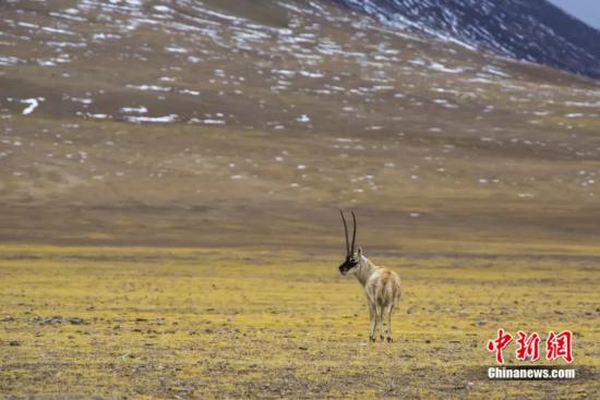 羌塘国家级自然保护区改则县片区的藏羚羊 贡觉群培摄
