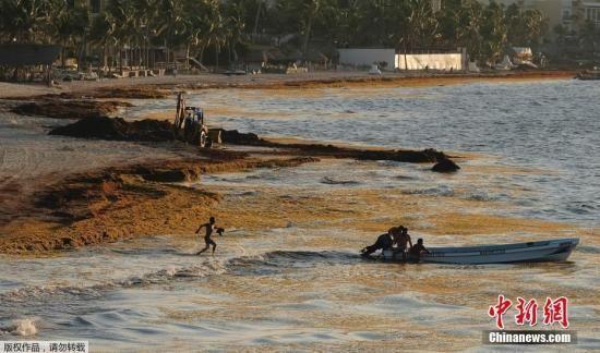资料图:海岸边海藻泛滥。