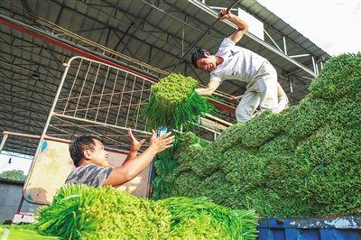 位于海口市的海南凤翔蔬菜批发市场和海口市菜篮子产业集团持续从岛外调运蔬菜,保证市场供应,稳定菜价。图为9月7日,海南凤翔蔬菜批发市场工人正卸载从广东运达的韭菜。见习记者 李天平 摄