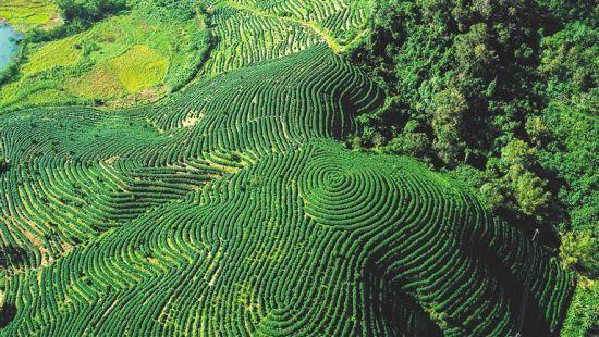 俯瞰五指山市水满乡的茶园。 武威 摄