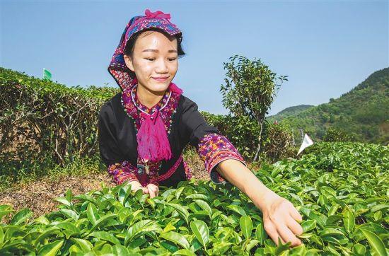 五指山市水满乡的村民在茶园里采茶。武威 摄