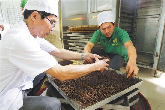 在五指山市水满乡永训茶基地,工人正在加工茶叶。武威 摄