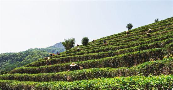 在五指山市水满乡椰仙茶园,村民们正在进行采摘茶叶比赛。武威 摄
