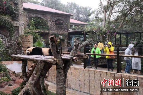 图为海南热带动植物园内的大熊猫。(资料图片) 尹海明 摄
