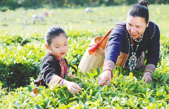 符小芳(右一)在茶园采摘茶叶。 本报记者 苏晓杰 摄