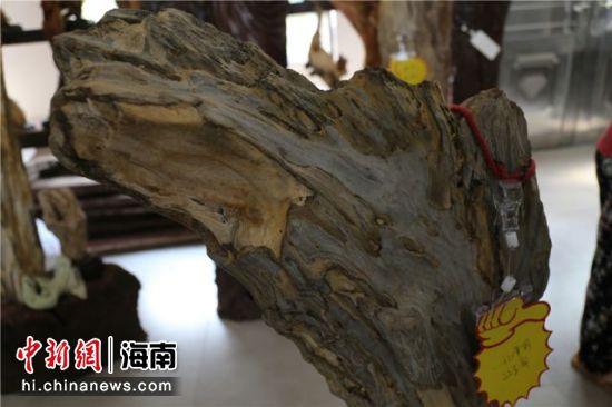 南渡江树化石。