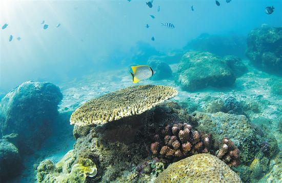 在分界洲岛海域,鱼儿在珊瑚附近游动觅食。 新华社发