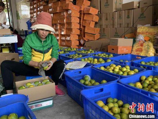 在白沙黎族自治县七坊镇农产品供应站,工作人员正在筛检红心橙。 王子谦 摄