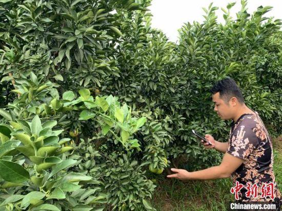 """""""双11""""为农产品销售提供商机,图为白沙县红心橙种植户利用手机直播进行推介。 王子谦 摄"""