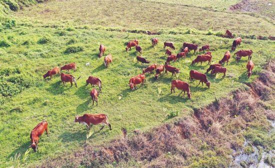 野外放养的定安黄牛。