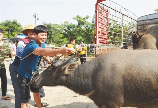 仙沟的定安百年牛市,是海南岛现存最大的活牛交易市场。