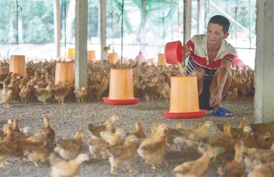 韩亮在给鸡喂食。 阮琛 摄