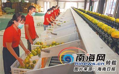 工作人员操作分拣设备筛选红心橙。海南日报记者 袁琛 摄