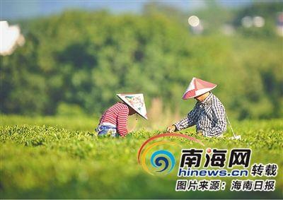 在白沙陨石坑周边的茶园,茶农正在采茶。 海南日报记者 袁琛 摄