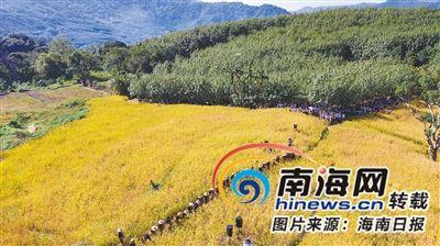 白沙青松乡山兰稻喜获丰收。 海南日报记者 李天平 摄