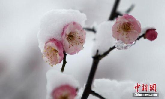 资料图:图为傲雪而放的梅花。 孟德龙 摄
