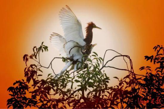 田心村鹭鸟迎着朝阳振翅起飞。