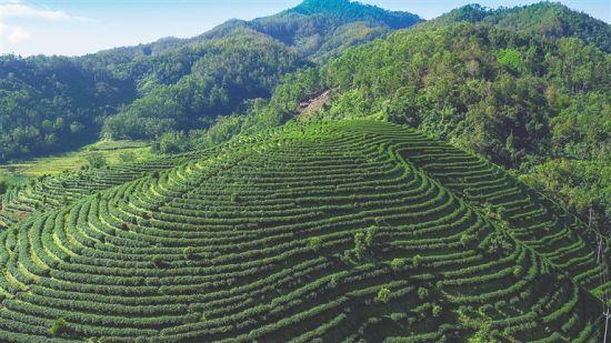 俯瞰五指山市水满乡茶园。 本报记者 武威 通讯员 陈凌 摄
