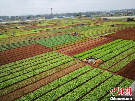 图为海口市龙华区城西镇苍东常年蔬菜基地。 尹海明 摄