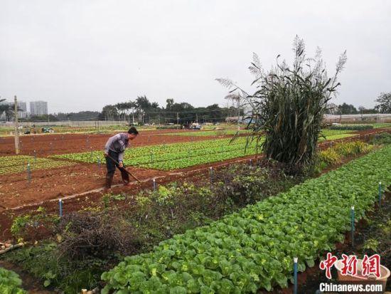 图为黎锦强在海口市龙华区城西镇苍东常年蔬菜基地忙碌。 尹海明 摄