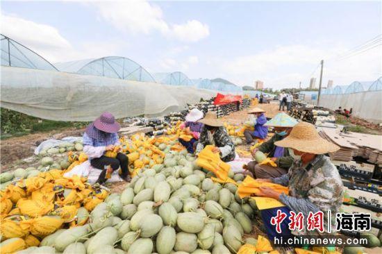 工人们正抓紧打包刚采摘的哈密瓜
