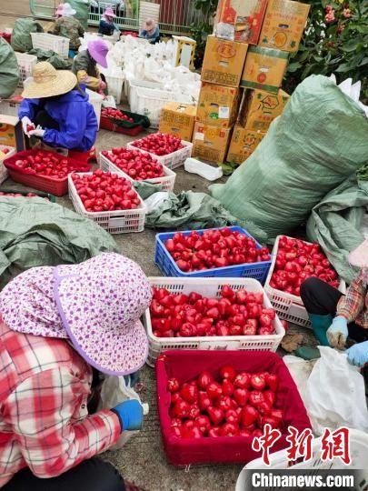 海口云龙镇金德丰莲雾生产基地,工人在打包采摘下来的莲雾熟果。 宋智强 摄