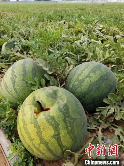 陵水县黎安大墩村尚有百万斤西瓜亟待出货。 王晓斌 摄