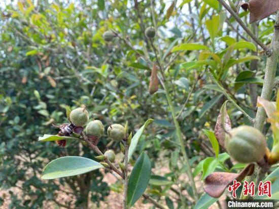 图为海口三门坡镇清泉村山柚树。凌楠 摄