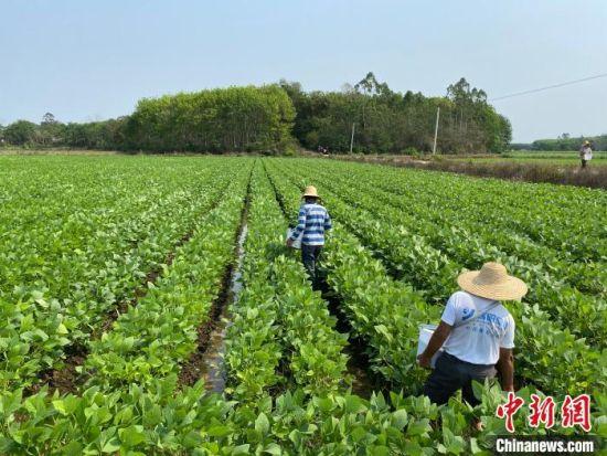 图为临高县临城镇抱瑞村种植的毛豆。凌楠 摄