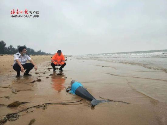 一条小型江豚搁浅在海口滨海大道新国宾馆附近海滩搁浅,多部门联合救助。