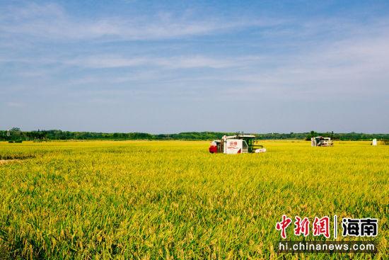 收割机正在收割水稻。凌楠 摄