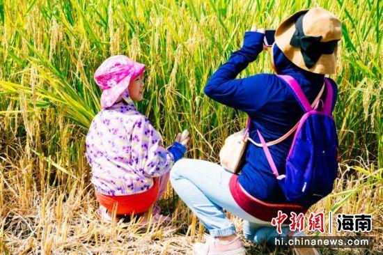 小朋友在体验割稻。凌楠 摄