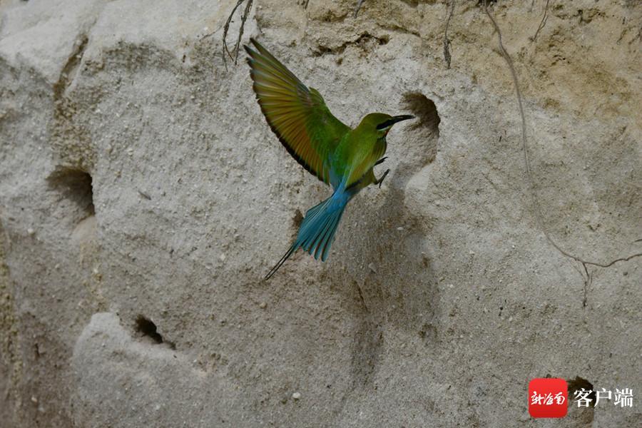 海口有这样一群小鸟 在岩壁上打洞筑巢