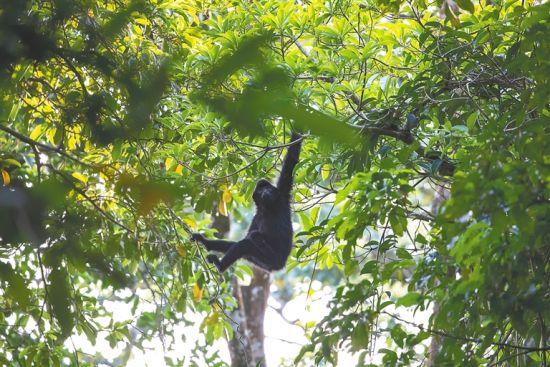 一只长臂猿在林间活动。海南日报记者 李天平 摄