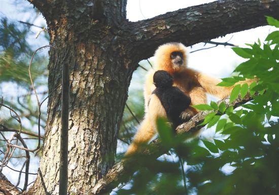 在白沙青松乡斧头岭,一只母猿带着幼崽坐在树上。海南日报记者 李天平 摄