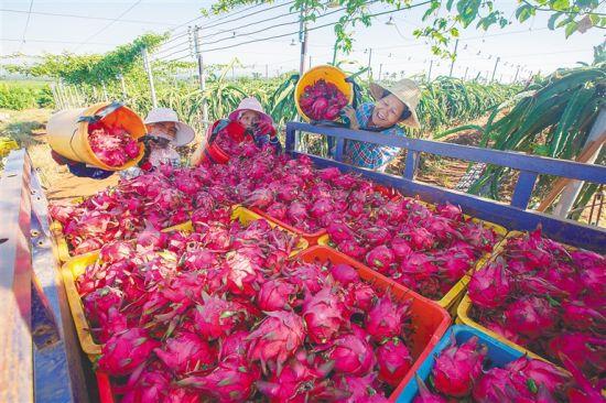 近日,在海垦红明农场,农户们忙着采摘、装运火龙果。袁琛 摄