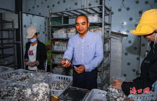 王其甫在查看刚刚采摘的食用菌。记者 康登淋 摄