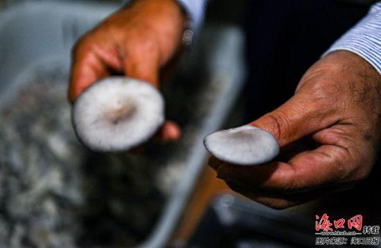 王其甫展示手中的食用菌。记者 康登淋 摄