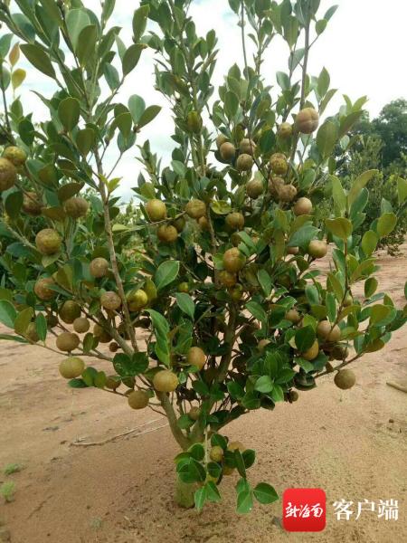 琼海温泉发富油茶种植农民专业合作社基地内种植的油茶。记者 苏桂除 摄