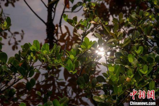 海口鸭尾溪栽种的红树。凌楠 摄