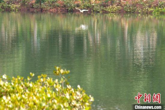 海口鸭尾溪湿地公园白鹭飞翔。凌楠 摄