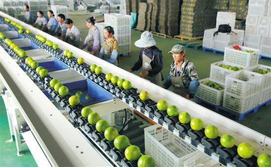 十一月三日,澄迈原真生态休闲农业开发有限公司工人在自动化福橙分拣生产线上作业。本版图片均由本报记者 苏晓杰 通讯员 王家专 摄