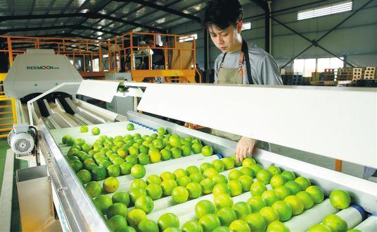 澄迈原真公司工人将福橙倒入生产线。