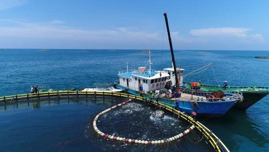 海南翔泰渔业股份有限公司养殖基地金鲳鱼捕捞现场。企业供图